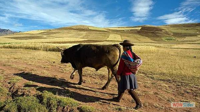 A person walking with a cow in fields
