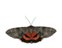 Image of a noctuid moth