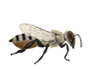 Image of a native megachild bee.