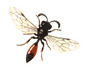 Image of a native sphecid wasp