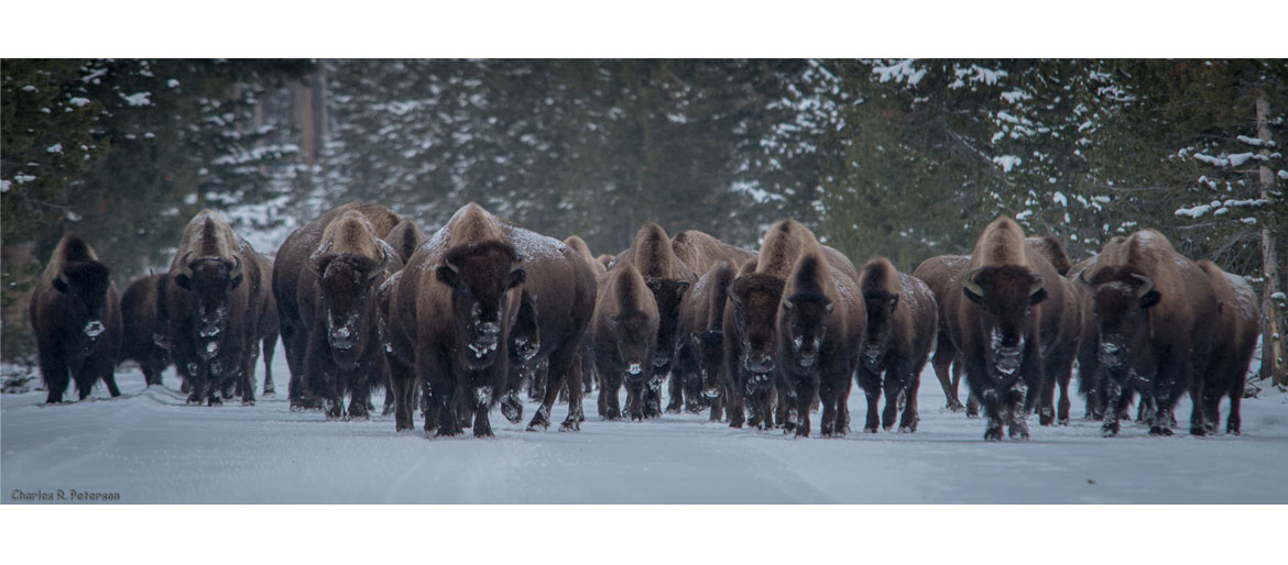 Herd of Yellowstone bison coming toward the camera.