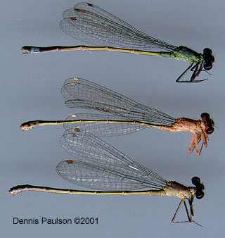 Pacific Forktail Damselflies