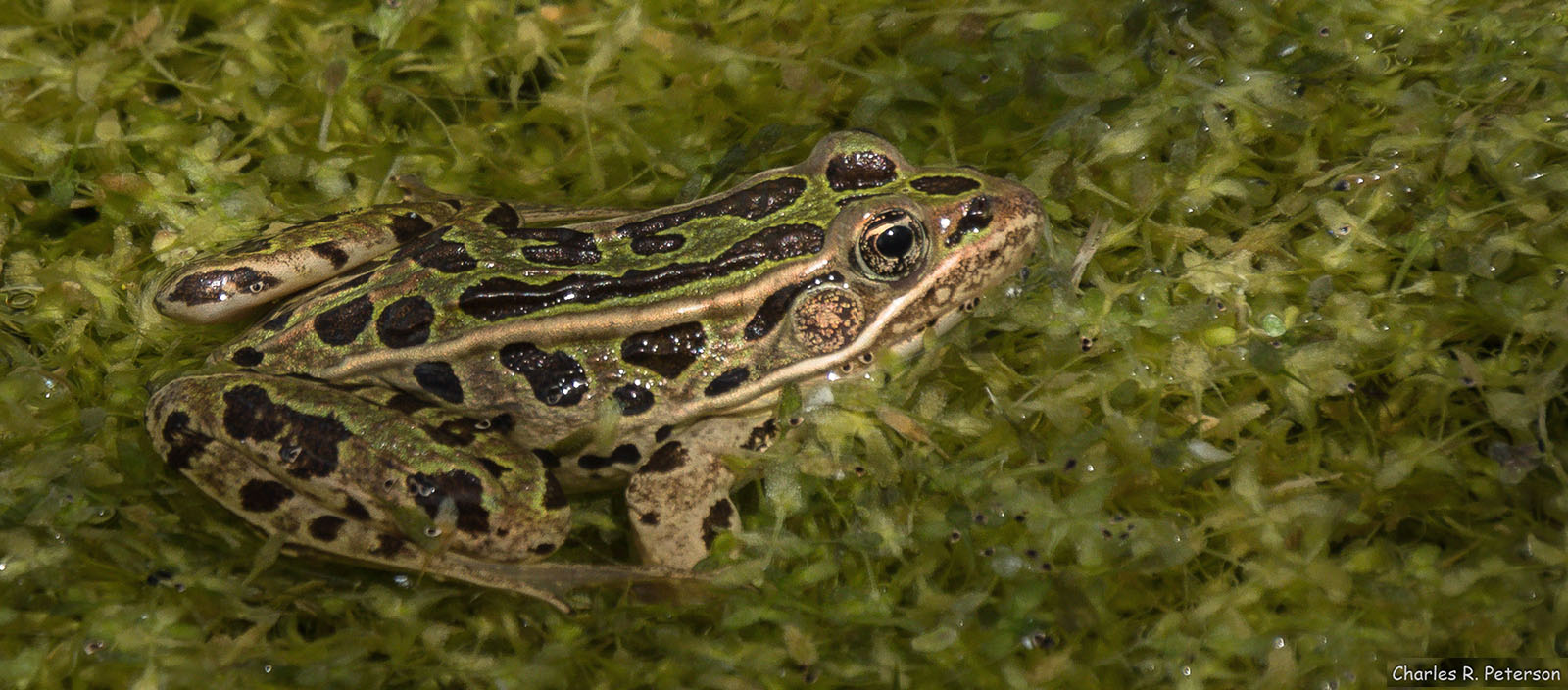 Northern Leopard Frog at O'Neall Ecological Reserve