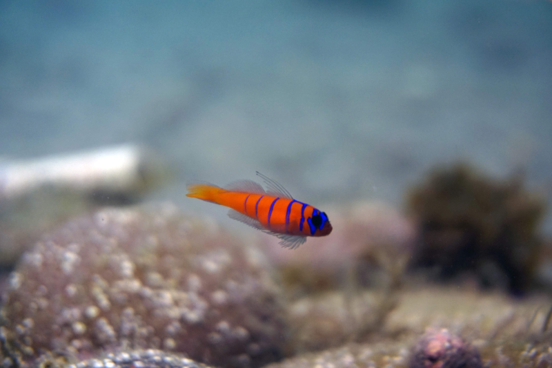 Bluebanded Goby fish