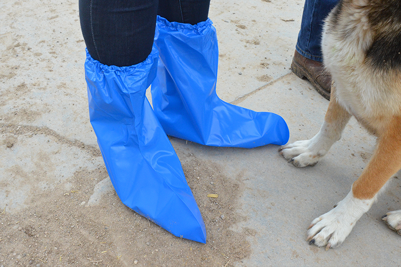 Dairy West provides stylish blue plastic boot covers for anyone needing them during a dairy farm tour