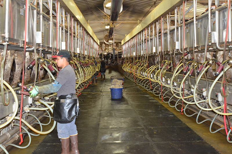 The milking barn at Eagle Ridge Dairy can hold 60 cows at one time, 30 on each side of a long aisle.