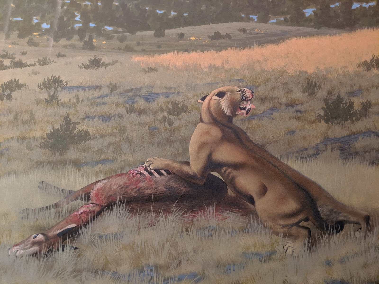 An artist's depiction of Machairodus lahayishupup eating Hemiauchenia, a camel relative. The image is part of a mural of the Rattlesnake Formation of central Oregon, where fossils of the newly identified species have been found. The mural is exhibited at John Day Fossil Beds National Monument, part of the National Park Service.