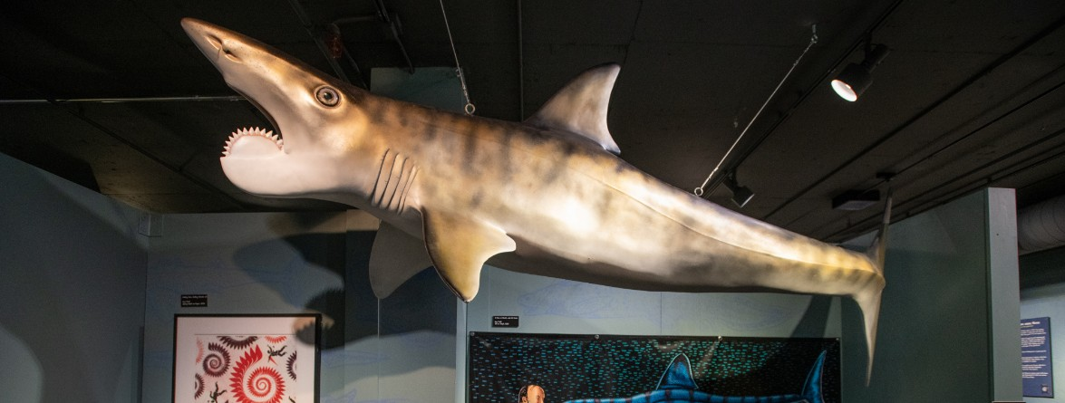 helicoprion shark model