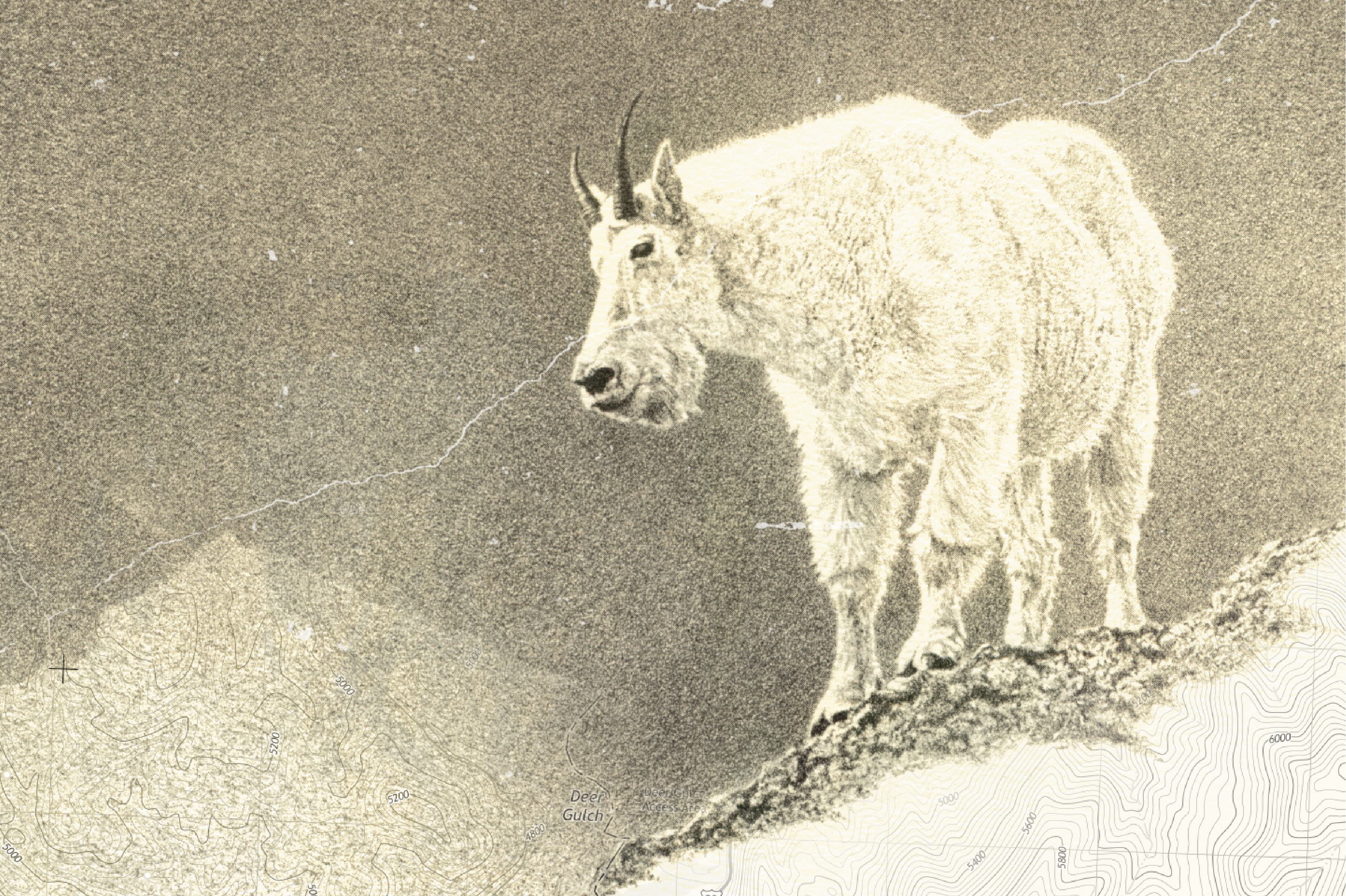 Pencil drawing of a Mountain Goat by Edson Fichter