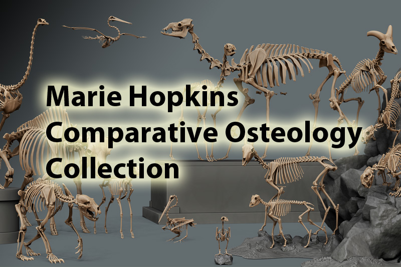 Marie Hopkins Comparative Osteology