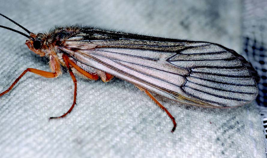 Caddisfly Adult