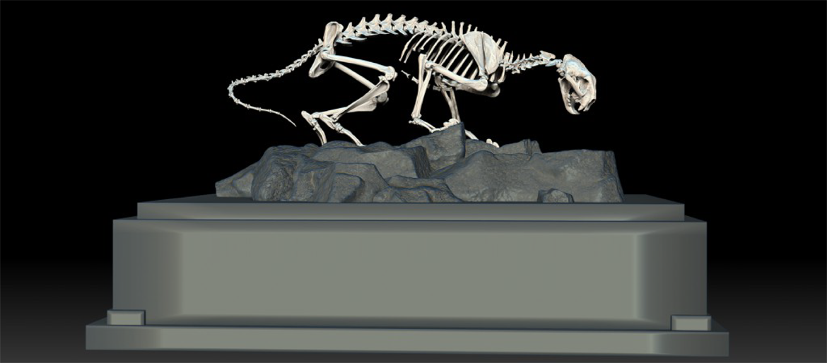 Mountain Lion Skeleton