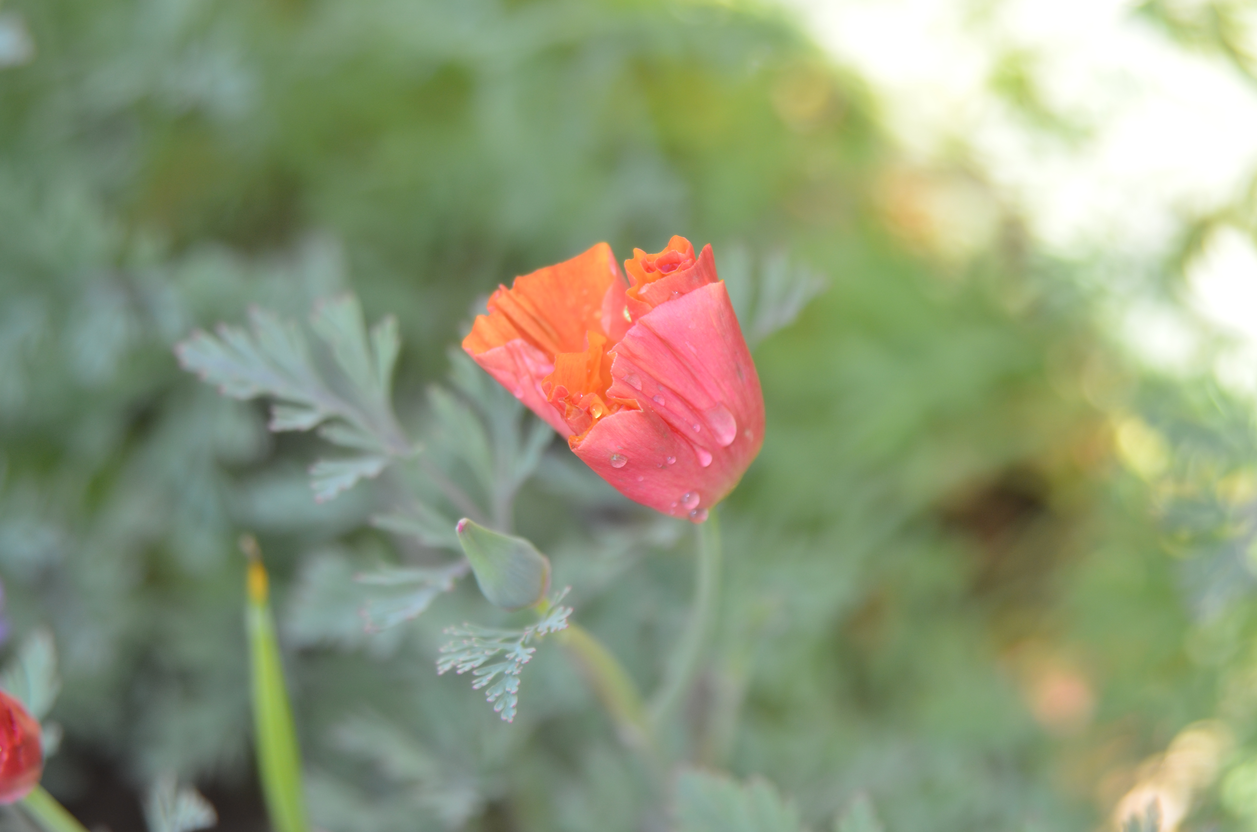 Pink poppy with drops of dew