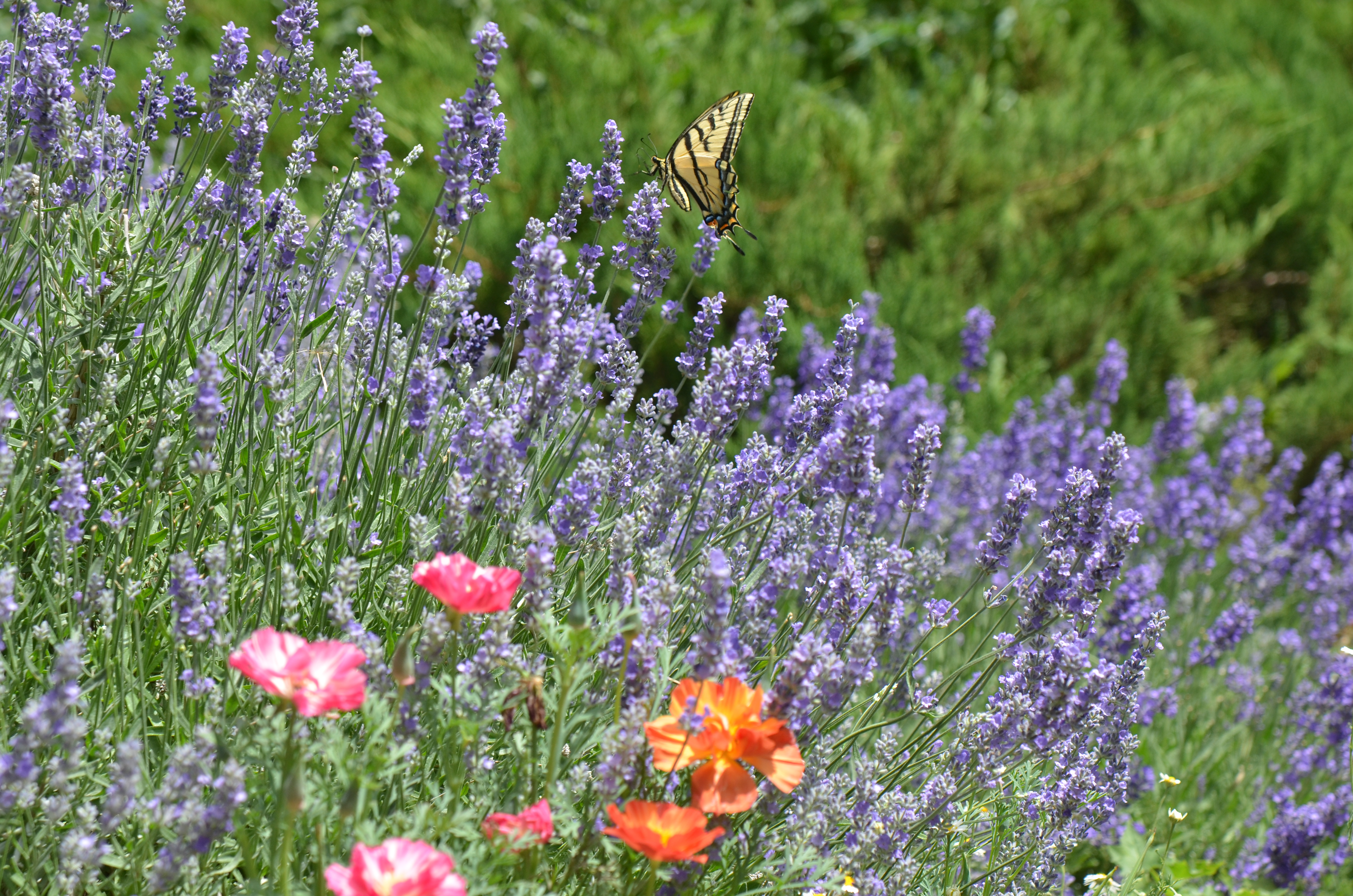 Purple sage plant with yellow butterfly