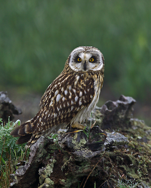 Photo of short-eared owl perched on the ground.