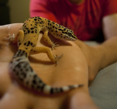 Photo of leopard gecko on a person's hand.