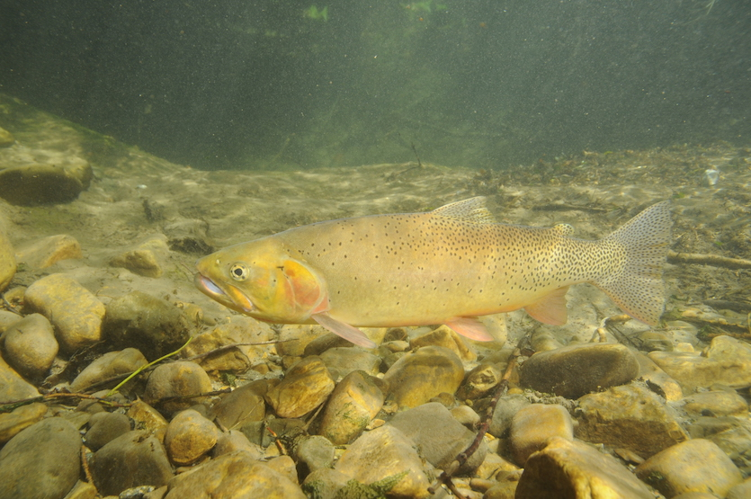 Idaho State University biological sciences, geosciences faculty contribute to new book on Cutthroat Trout